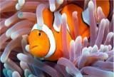 Пазл Рыбка-клоун